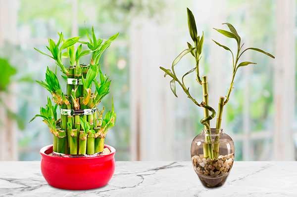 Bambu de la Suerte en Feng Shui