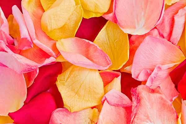 Petalos de Rosa en Ritual de Amor